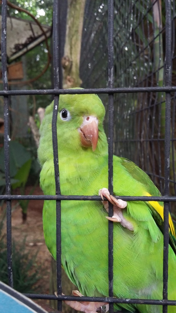 A little green parrot