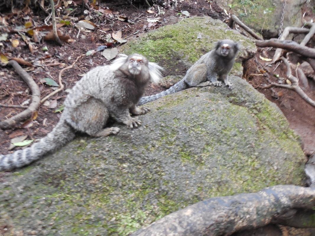 Shyrwyn sees some sagui monkeys while hiking though the Corcovado, Rio de Janeiro, Brazil