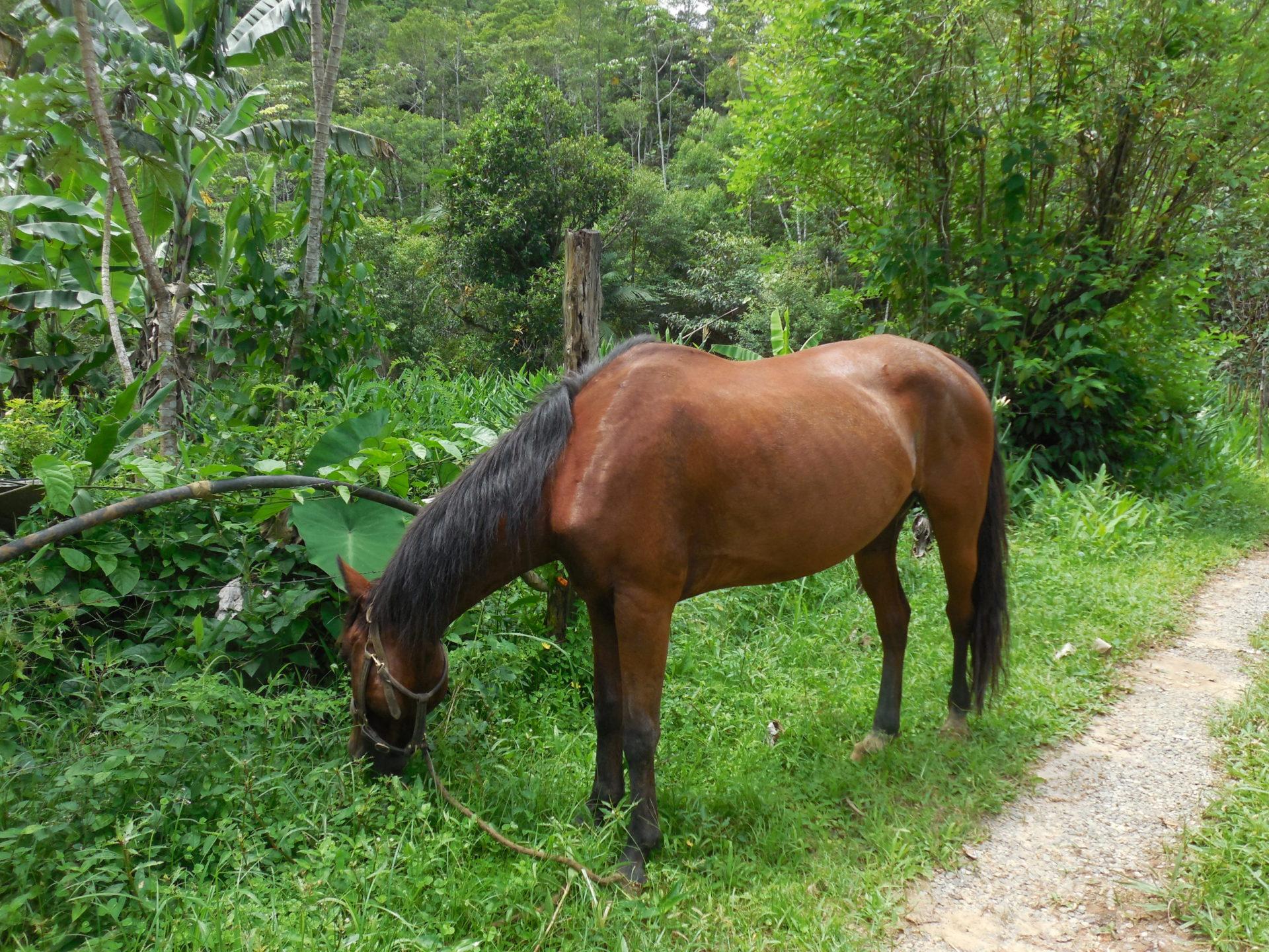 Horse grazing in a farm in Peruíbe, São Paulo, Brazil